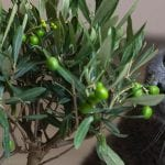 Are Olives Keto?